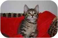 Domestic Mediumhair Kitten for adoption in Tampa, Florida - Wiggles