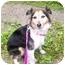 Photo 4 - Sheltie, Shetland Sheepdog Mix Dog for adoption in Oak Ridge, New Jersey - Lydia