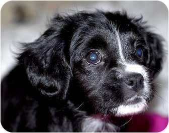 English Bulldog/Poodle (Miniature) Mix Puppy for adoption in north hollywood, California - Callie