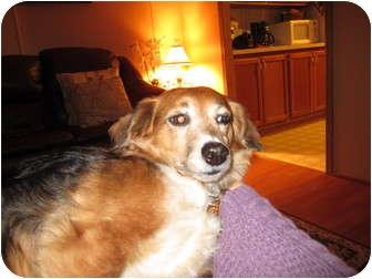 Dachshund/Spitz (Unknown Type, Small) Mix Dog for adoption in Lexington, Kentucky - Molly