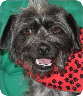 Cairn Terrier/Tibetan Spaniel Mix Dog for adoption in La Habra Heights, California - Fabulous Fiona