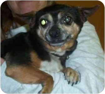 Chihuahua Mix Dog for adoption in Somerset, Pennsylvania - Mitsy