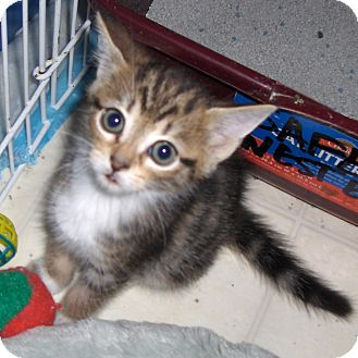 Domestic Shorthair Kitten for adoption in Richmond, Virginia - Brody