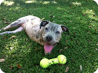 American Pit Bull Terrier Mix Puppy for adoption in Dundee, Florida - Peggy