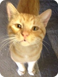 Domestic Shorthair Cat for adoption in League City, Texas - LUCKY - FRIENDLY