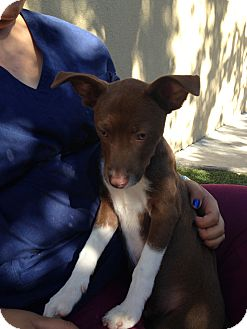 Border Collie/Rat Terrier Mix Dog for adoption in Dublin, California - Rookie