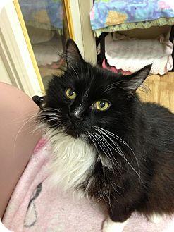 Domestic Longhair Cat for adoption in Maple Ridge, British Columbia - Ferdinand