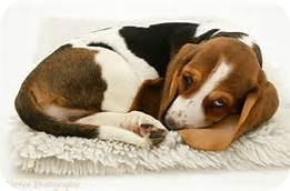 Basset Hound Mix Puppy for adoption in Fremont, Nebraska - Bella
