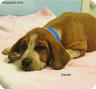 Bloodhound/Shepherd (Unknown Type) Mix Puppy for adoption in Danielsville, Georgia - Daniel