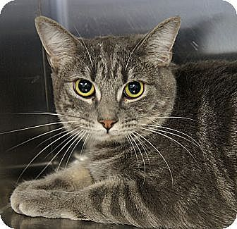 Domestic Shorthair Cat for adoption in Los Alamitos, California - Mindy 2