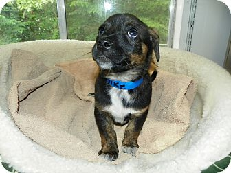 Rottweiler Mix Puppy for adoption in Waldorf, Maryland - Mike