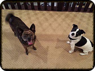 Chihuahua Mix Dog for adoption in Corona, California - Parker