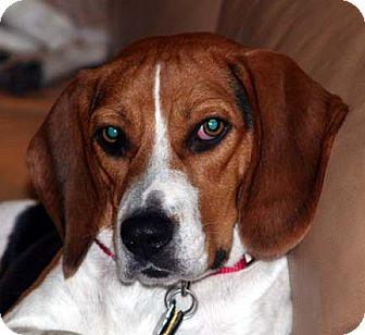 Beagle Dog for adoption in Houston, Texas - Nora