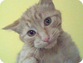 Domestic Shorthair Kitten for adoption in Adrian, Michigan - Yeller