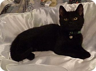 Bombay Kitten for adoption in Satellite Beach, Florida - Amos