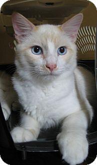 Domestic Mediumhair Cat for adoption in Los Angeles, California - Levi