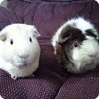 Adopt A Pet :: Butter - San Antonio, TX