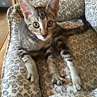 Domestic Shorthair Kitten for adoption in San Dimas, California - Xena