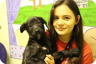 Shepherd (Unknown Type) Mix Puppy for adoption in Elyria, Ohio - Billy