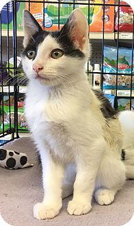 Domestic Shorthair Kitten for adoption in Gilbert, Arizona - Percy