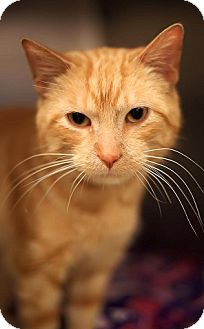 Domestic Shorthair Cat for adoption in Hillside, Illinois - Phineas-LOVERBOY