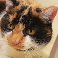 Calico Cat for adoption in Cincinnati, Ohio - Emme