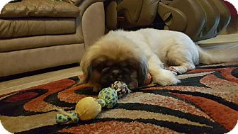 Pekingese Dog for adoption in Mary Esther, Florida - Mr. Tubbs