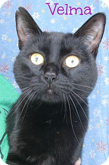 Domestic Shorthair Cat for adoption in Menomonie, Wisconsin - Velma