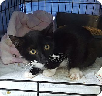 Domestic Shorthair Kitten for adoption in Roscoe, New York - Cassie