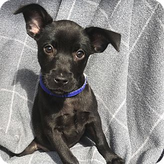 Chihuahua/Terrier (Unknown Type, Small) Mix Puppy for adoption in CUMMING, Georgia - Janice