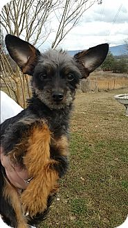 Yorkie, Yorkshire Terrier/Poodle (Miniature) Mix Puppy for adoption in Spring Valley, New York - Rocky