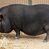 Pig (Farm) for adoption in Monterey, California - Patsy Swine