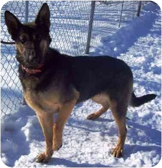 German Shepherd Dog Mix Dog for adoption in Howes Cave, New York - Duska - On Hold