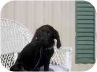 Labrador Retriever/Spaniel (Unknown Type) Mix Dog for adoption in Hedgesville, West Virginia - Thunder