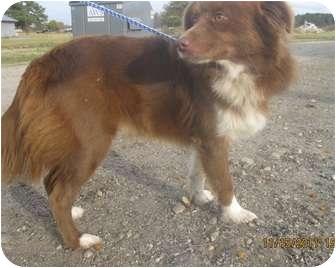 Border Collie/Labrador Retriever Mix Dog for adoption in staten Island, New York - Fonzie