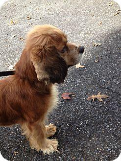 Cavalier King Charles Spaniel Dog for adoption in Spring City, Pennsylvania - Polly
