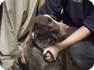 German Shorthaired Pointer Dog for adoption in Streetsboro, Ohio - Buck