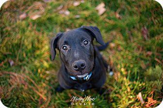 American Staffordshire Terrier/Labrador Retriever Mix Puppy for adoption in West Richland, Washington - Allsorts Pup- Winston