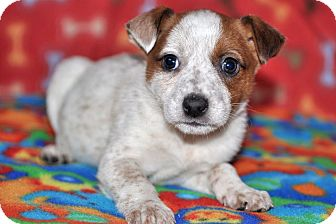 Anatolian Shepherd/Rat Terrier Mix Puppy for adoption in Howell, Michigan - Keaton