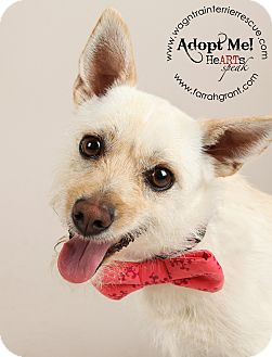 Westie, West Highland White Terrier/Chihuahua Mix Dog for adoption in Omaha, Nebraska - Libby