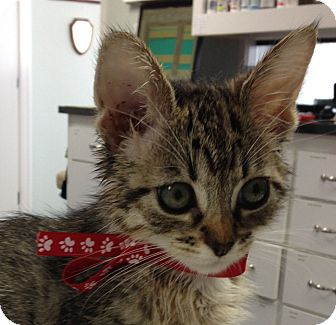 Domestic Mediumhair Kitten for adoption in Davis, California - Purriwinkle
