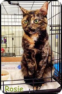 Domestic Shorthair Cat for adoption in Merrifield, Virginia - Rosie