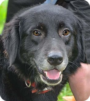 Labrador Retriever Mix Dog for adoption in Hagerstown, Maryland - Tucker