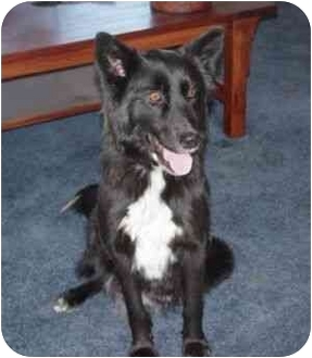 American Eskimo Dog/Border Collie Mix Dog for adoption in Victorville, California - Bella