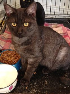 Domestic Shorthair Cat for adoption in Wichita Falls, Texas - Monet