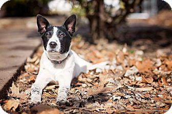 Cattle Dog/Rat Terrier Mix Puppy for adoption in Manhattan, Kansas - Grace