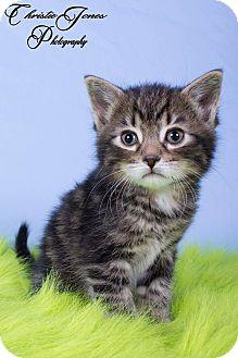 Domestic Shorthair Kitten for adoption in Edmonton, Alberta - Aspen