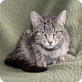 Domestic Shorthair Cat for adoption in Janesville, Wisconsin - Emmeline