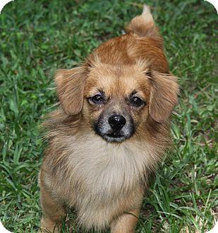 Dachshund/Chihuahua Mix Dog for adoption in Mount Pleasant, South Carolina - Teddy