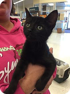 Domestic Shorthair Kitten for adoption in Warren, Michigan - Flannel - ADOPTION PENDING